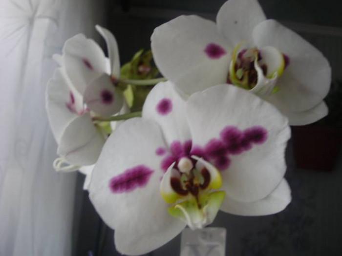 Орхідею вважають символом цнотливості, безгрішності, бездоганності, витонченості, чарівності та єдності