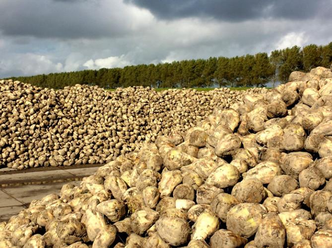 У Володимир-Волинському районі зібрали маєже 50% цукрових буряків