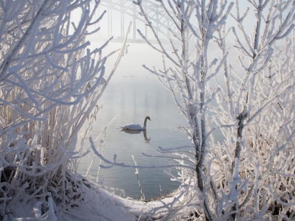 Просять допомогти лебедям, які залишились зимувати на Волині